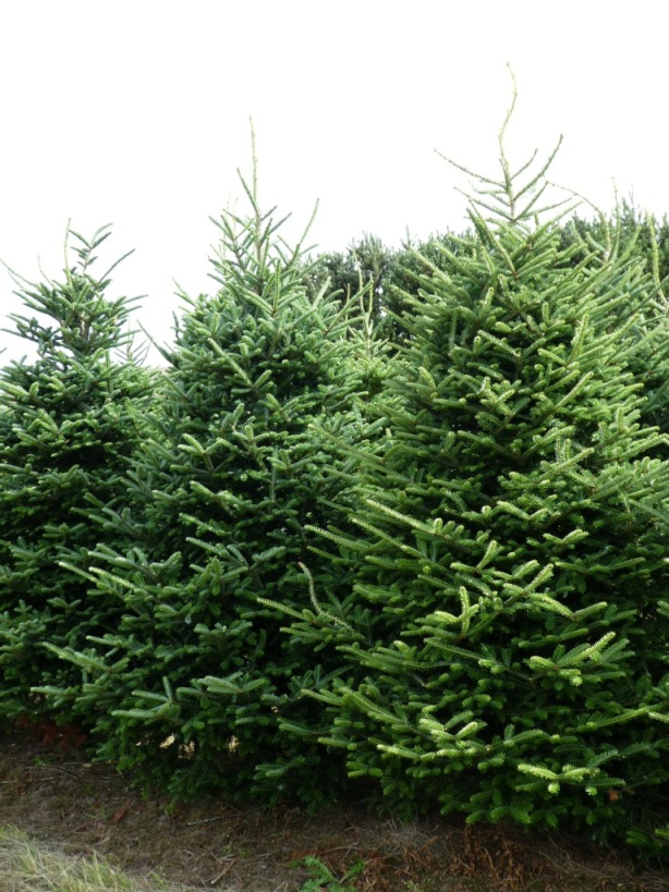 picture of an evergreen tree for decembers stump of the month.