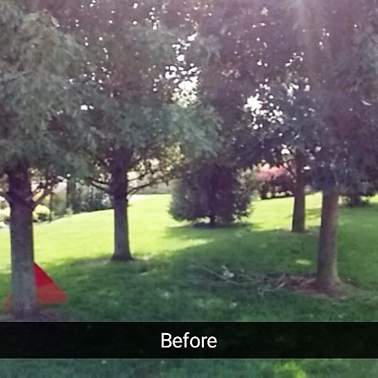 Ash Trees Trimmed