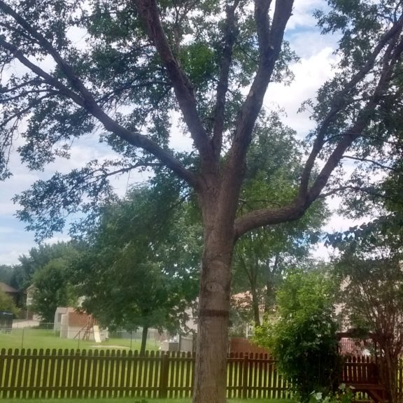 Trimmed Ash Tree